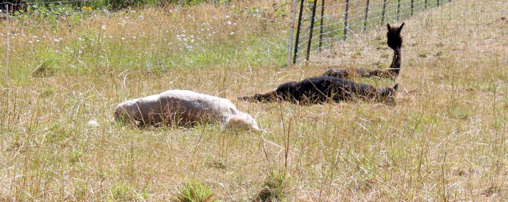Alpacas Sunbathing