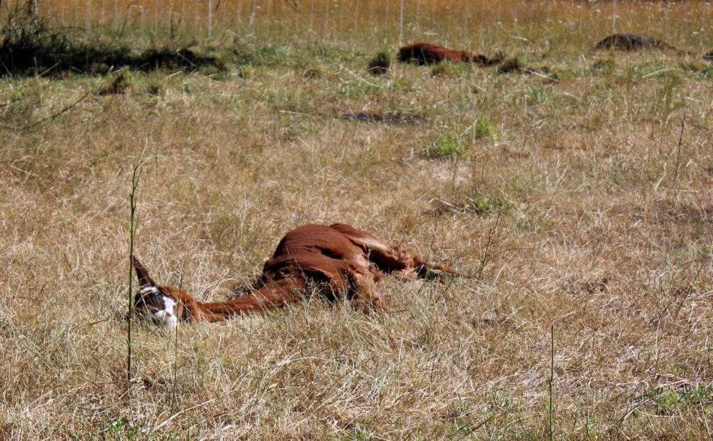 alpacas_sunbathing2
