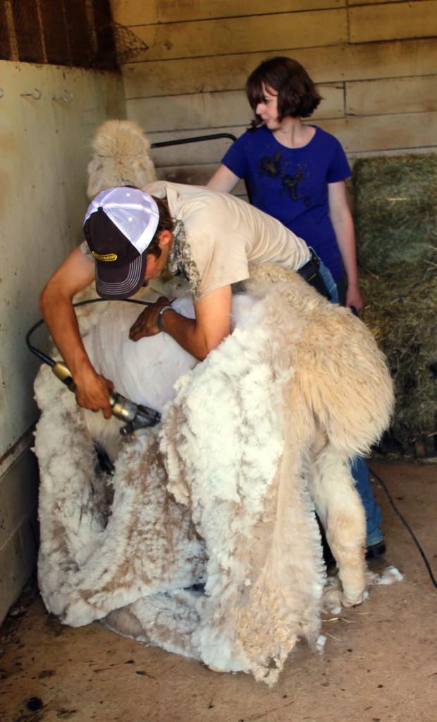 Shearing Alpaca Fiber