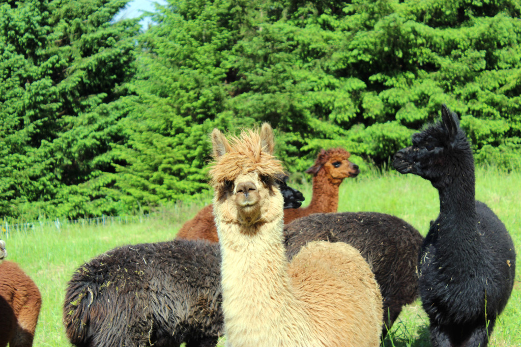 Alpacas Before Shearing