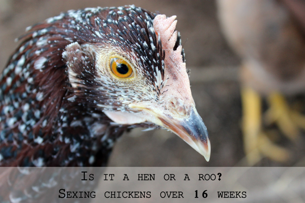 sexing chickens 16 weeks or over