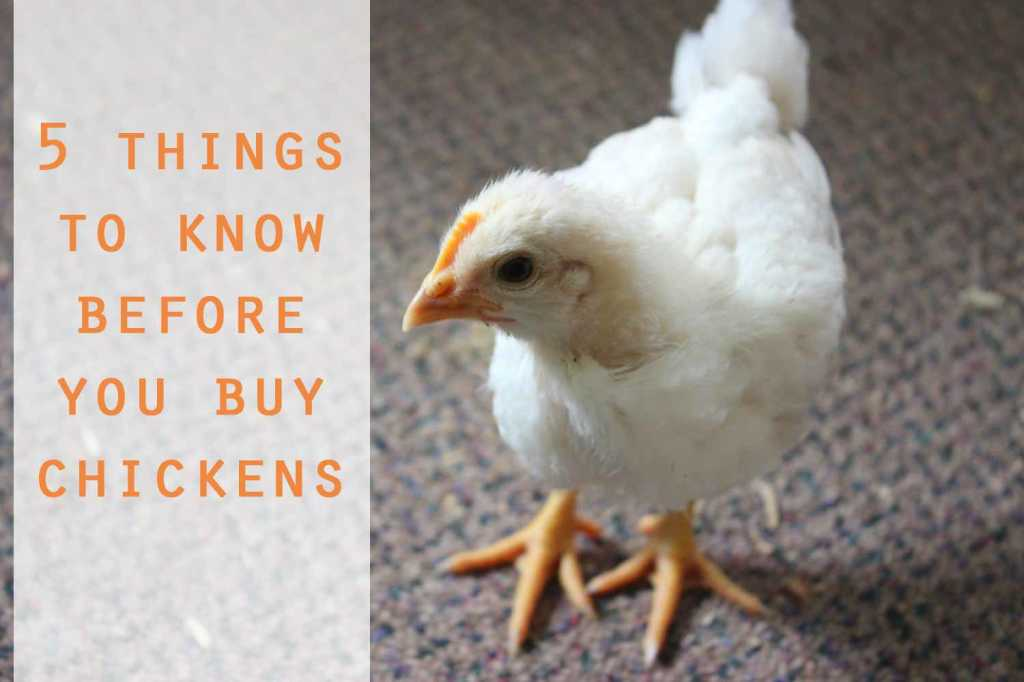 5 things you should know before buying chickens
