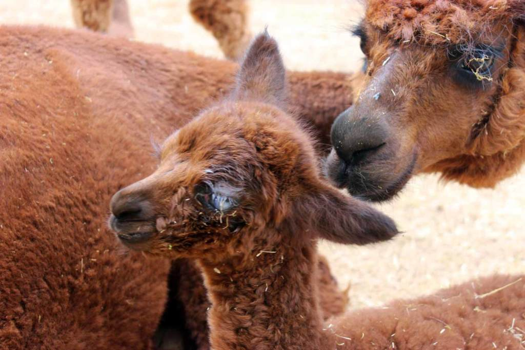 alpaca cria with ulcerated eye