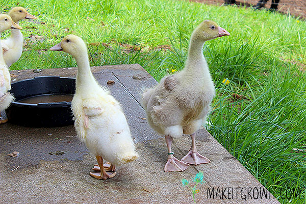 ducklings and goslings with water pan