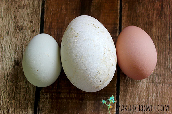 goose egg compared to chicken eggs
