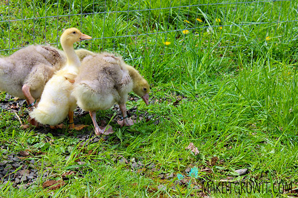 gosling and ducks on grass
