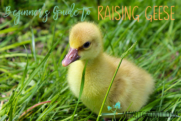 beginner's guide to raising geese