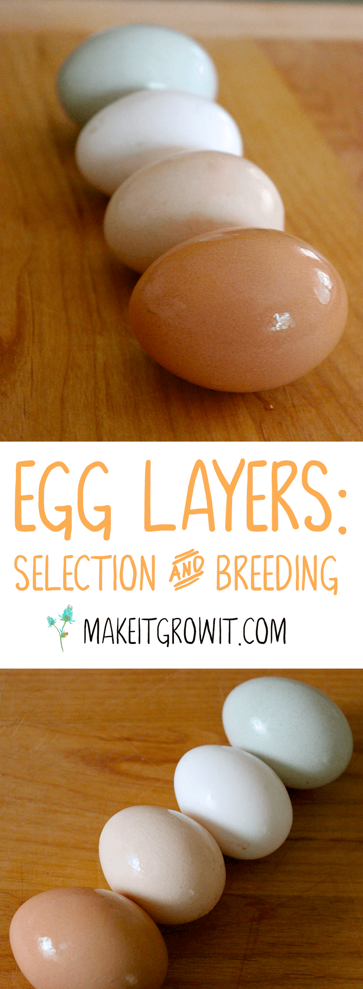 Selecting and Breeding Chickens for Egg Production - A Guide by Make It. Grow It. Click to read now or Pin It to save for later.