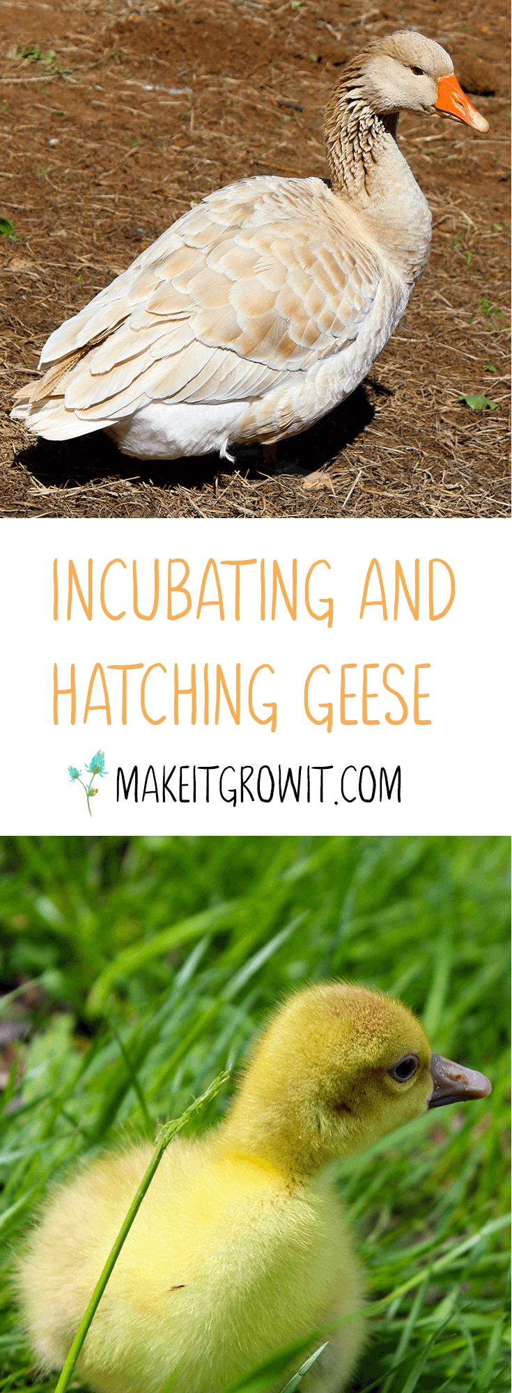 Guide to Hatching and Incubating Goose Eggs by Make It. Grow It. - Click to read now or Pin It to save for later.