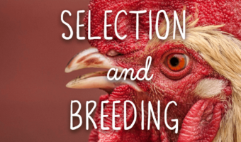 chickens for meat: selection + breeding