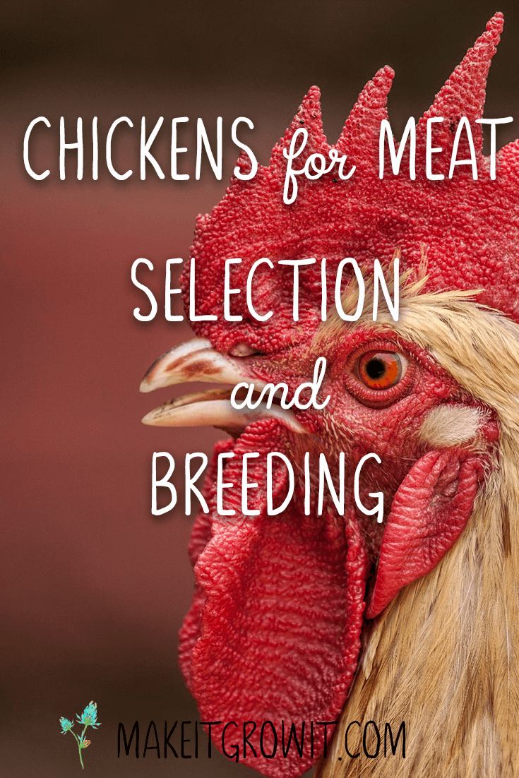 Breeding a great meat bird is a little bit trickier than breeding a chicken for egg production. Click here to learn how to select and breed a sustainable meat chicken flock or Pin It to read later.