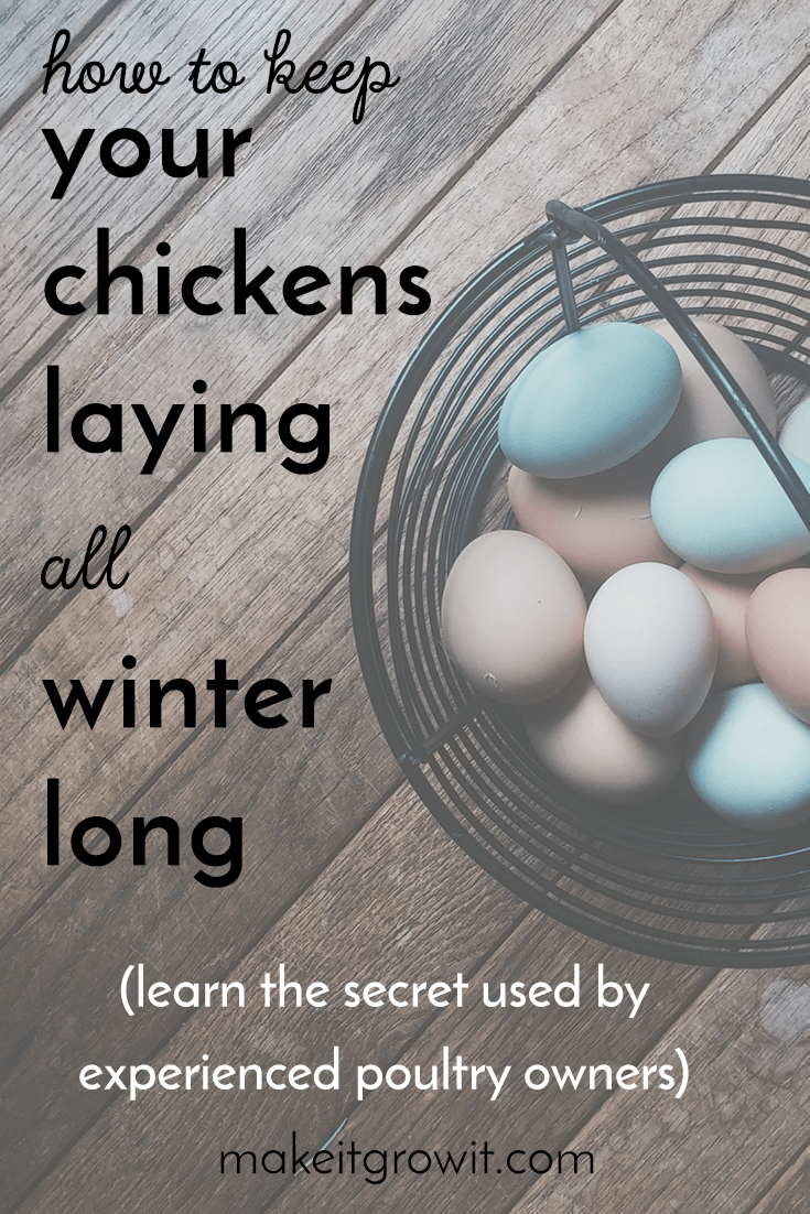 Learn the secret experienced chicken owners use to keep egg production high all winter long. Click here to read now or Pin It to save for later.